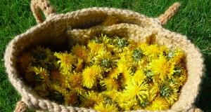 Păpădia este o mină de aur în ceea ce priveşte vitaminele, mineralele şi oligoelementele, frunzele de păpădie proaspete fiind folosite şi sub formă de salate.